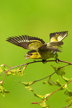 Siskin (Carduelis spinus) male displaying aggressively Scotland, UK. May.
