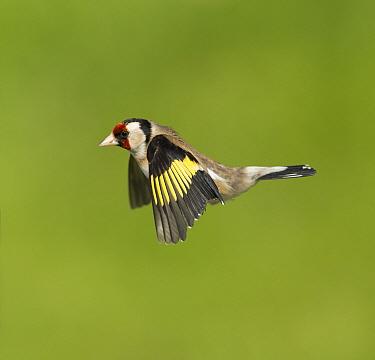 Goldfinch (Carduelis carduelis) in flight. Scotland, UK. May.