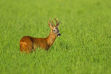 Roe deer buck (Capreolus capreolus) in field, Scotland, UK, August.