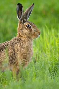 Brown hare (Lepus europaeus) close-up portrait. Scotland, UK.