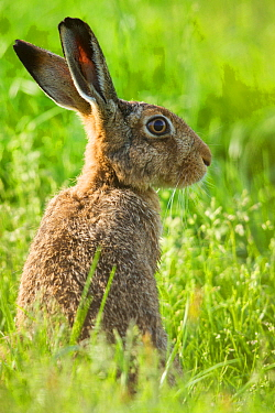 Brown hare (Lepus europaeus) adult in arable field, Scotland, UK, August.