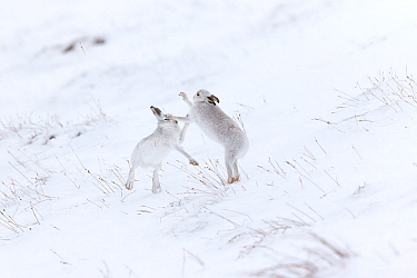 Mountain Hare (Lepus timidus) two animals boxing on snowy hillside Scotland, UK. February.