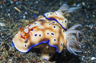Nudibranch (Risbecia tryoni) with commensal Emperor shrimp (Periclimenes imperator). Lembeh Strait, North Sulawesi, Indonesia.