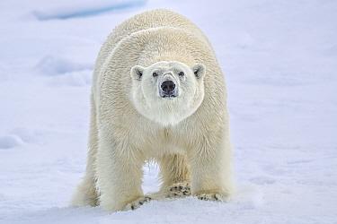 Polar bear (Ursus arctos) standing on sea ice, Svalbard, Norway.