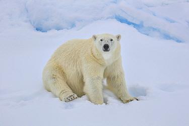 Polar bear (Ursus arctos) sittin on sea ice, Svalbard, Norway.