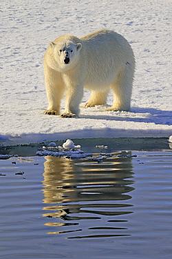 Polar bear (Ursus arctos) walking on sea ice, Svalbard, Norway.