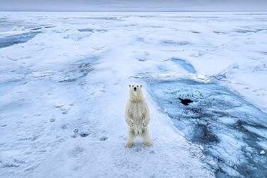 Polar bear (Ursus arctos) standing on hind legs on sea ice, Svalbard, Norway.