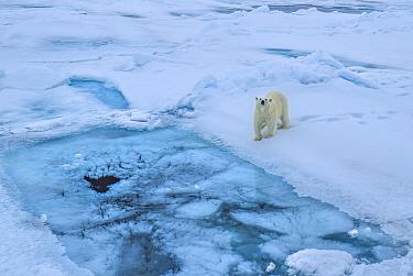 Polar bear (Ursus arctos) on sea ice, Svalbard, Norway.