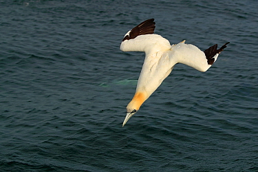 Gannet (Morus bassanus) diving, off Bempton Cliffs, Yorkshire, England, UK.