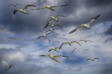 Gannet (Morus bassanus) flock in flight, off Bempton Cliffs, Yorkshire, England, UK.
