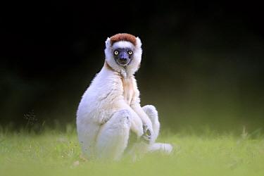 Verreaux sifaka (Propithecus verreauxi) watching, Madagascar