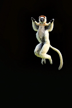 Verreaux Sifaka (Propithecus verreauxi) leaping, black backround, Madagascar