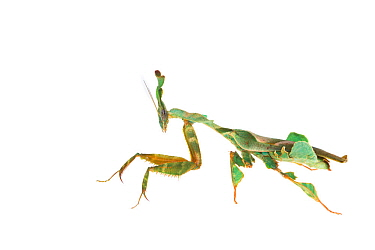 Ghost mantis (Phyllocrania paradoxa) captive occurs in Africa.