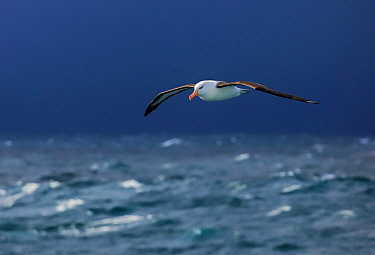 Black browed albatross (Thalassarche melanophris) in flight over stormy seas, Southern Ocean