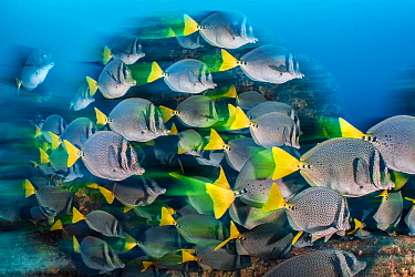 Long exposure of a school of yellowtail surgeonfish (Prionurus punctatus), these fish school to help them access the best feeding areas, which are controlled by aggressive damselfish. Los Islotes, La...