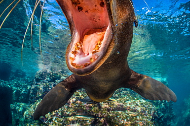 California sea lion (Zalophus californianus) with mouth open close to the camera. The milk teeth of this pup show decay, which is quite usual. Los Islotes, La Paz, Baja California Sur, Mexico. Sea of...