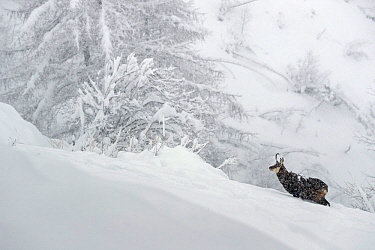 Alpine chamois (Rupicapra rupicapra) in winter landscape during heavy snowfall, Gran Paradiso National Park, Italy. March.