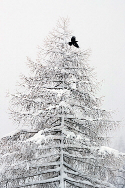 Carrion crow (Corvus corone) flying from a snow covered pine tree in a winter landscape. Valsavarenche, Gran Paradiso NP, Italy, March.