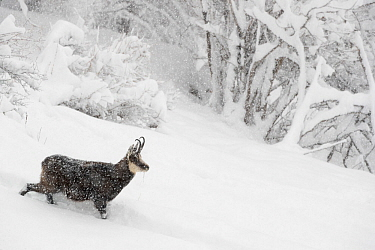 Alpine chamois (Rupicapra rupicapra) in winter landscape during heavy snowfall. Valsavarenche, Gran Paradiso National Park, Italy. March