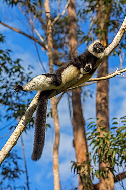 Black and white ruffed lemur (Varecia variegata variegata) sunbathing in the early morning, Vakona island, Andasibe area, Madagascar. Captive
