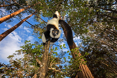 Black and white ruffed lemur (Varecia variegata variegata) hanging from branch, Vakona island, Andasibe area, Madagascar. Captive.