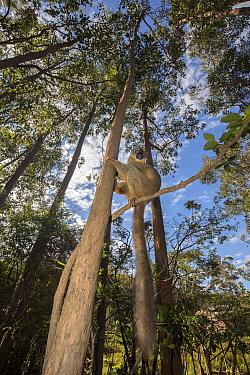 Common brown lemur (Eulemur fulvus) perched in tree, Vakona island, Andasibe, Madagascar, Captive.