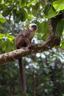 White fronted brown lemur (Eulemur albifrons) male in tree, Nosy Mangabe, Masoala National Park, Madagascar.