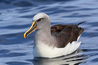 Buller's albatross / mollymawk (Thalassarche bulleri) on water. Kaikoura, South Island, New Zealand. April.