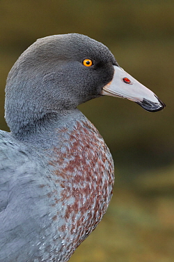 New Zealand Blue duck (Hymenolaimus malacorhynchos) close up portrait. Hokitika, West Coast, South Island, New Zealand. September. Endangered Species.