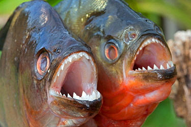 Red-bellied piranha (Pygocentrus nattereri) and Redeye Piranha (Serrasalmus rhombeus formely Serrasalmus niger) out of water. Comparison, with both showing sharp teeth. Rio Negro, Amazonas, Brazil.