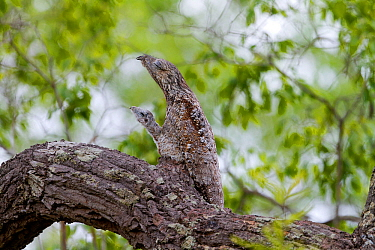 Great potoo (Nyctibius grandis) , female with young resting on a branch, Pantanal, Mato Grosso, Brazil.