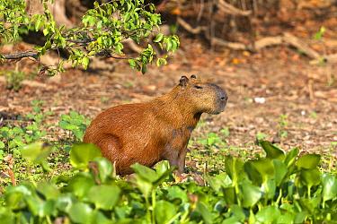Capybara (Hydrochoerus hydrochaeris ) Pantanal, Mato Grosso, Brazil.