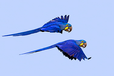 Hyacinth macaw (Anodorhynchus hyacinthinus) two in flight. Pantanal, Mato Grosso, Brazil.