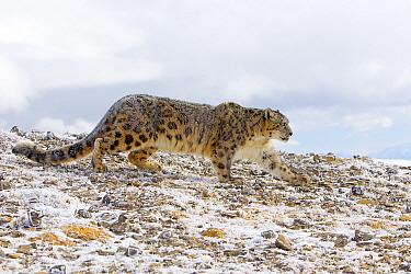 Snow leopard (Panthera / Uncia uncia), Bozeman, Montana, USA. Captive.