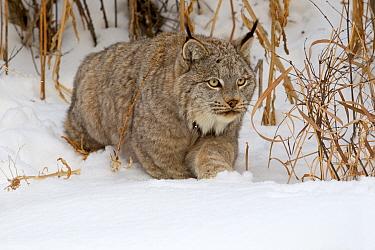 Canadian Lynx (Lynx canadensis) in snow, Montana, USA, Captive.
