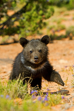Grizzly bear (Ursus arctos horribilis), baby young age two and a half months. Utah, USA, Controlled conditions