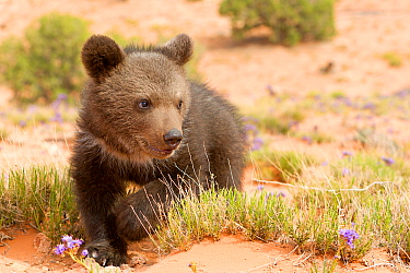 Grizzly bear (Ursus arctos horribilis), baby young,age 2 and a half months, Utah, USA. Controlled conditions