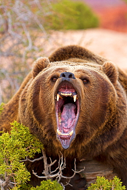 Grizzly bear (Ursus arctos horribilis), roaring, Utah, USA. Captive.