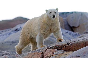 Polar Bear ( Ursus maritimus ) on bare rocks, Svalbard, Norway.