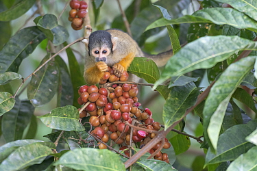 Black-capped squirrel monkey (Saimiri boliviensis peruviensis) feeding,, Madidi NP, Bolivia