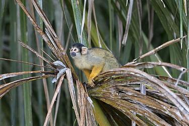 Black-capped squirrel monkey (Saimiri boliviensis peruviensis), Madidi NP, Bolivia
