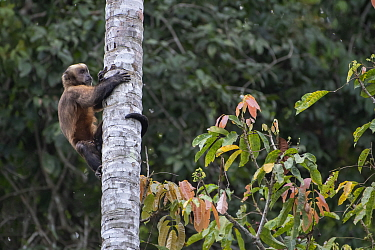 Guianan brown capuchin (Sapajus apella), exploring a hole in a palm tree for insects, Madidi NP, Bolivia