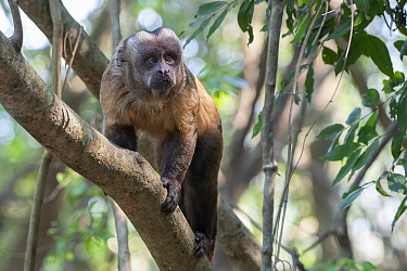 Guianan brown capuchin, (Sapajus apella), walking up branch, Municipal protected area of Pampas del Yacuma, Bolivia