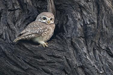 Spotted owlet ( Athena brama), Keoladeo NP, Bharatpur, India