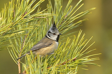 Crested tit (Lophophanes cristatus) perched in pine tree on the Black Isle, Scotland. February