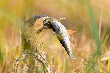 Great bittern (Botaurus stellaris) with recently caught fish prey in beak. Suffolk, UK. November.