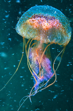 Jellyfish (Pelagia noctiluca) amongst plankton , Shetland Isles, Scotland.