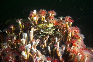 Serpulid reefs (Serpula vermicularis), Loch Creran, Scotland, UK, August.