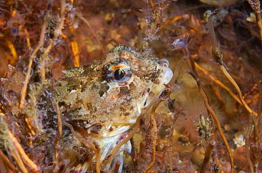 Scorpion fish amongst hydroids (Taurulus bubalis) Loch Etive, west coast of Scotland, UK, August.