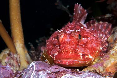 Long spined scorpion fish (Taurulus bubalis) camoflouged, Sula Sgeir, Scotland.